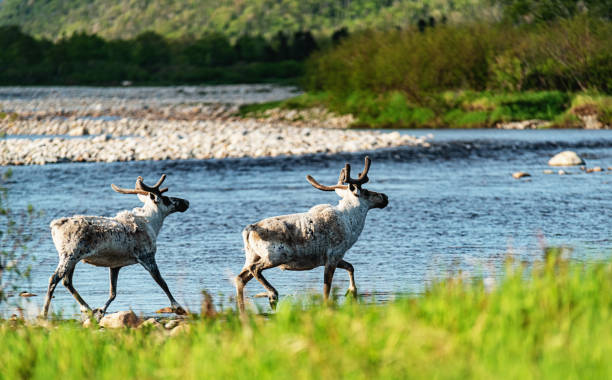 Caribou de Terre-Neuve - Photo