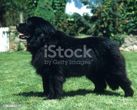 Newfoundland Dog, Adult standing on Grass