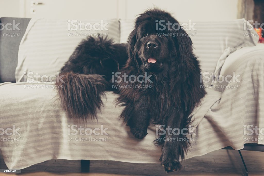 Newfoundland dog at home is laid out on the sofa. stock photo