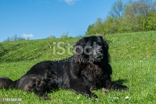 Female black Newfoundland dog lying on green grass meadow closeup in clear sunny day