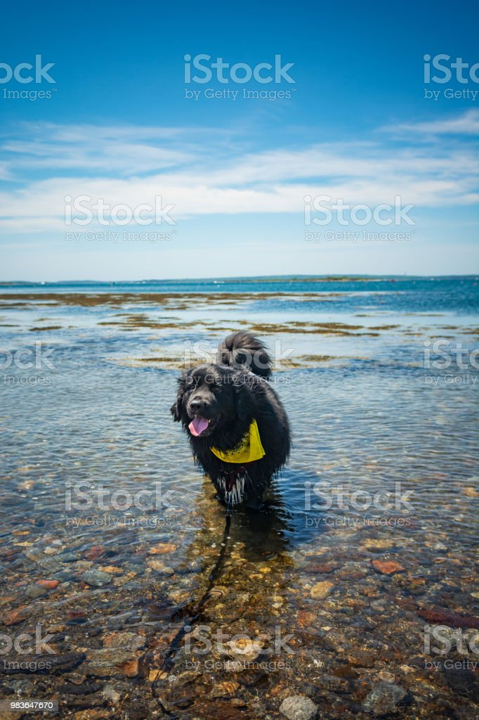 \'Bear\' the 2 year old Newfoundland dog enjoys playing in the ocean...