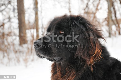 Newfoundland dog outdoors in winter.
