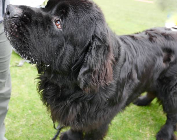 Newfoundland Dog stock photo