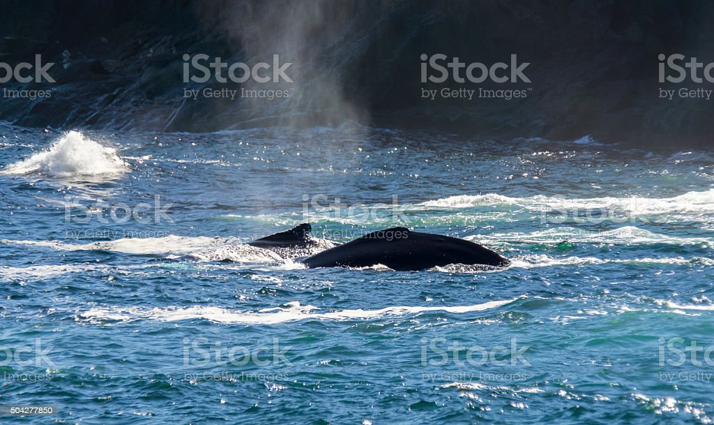 Newfoundland Two Humpback Whales Surface stock photo
