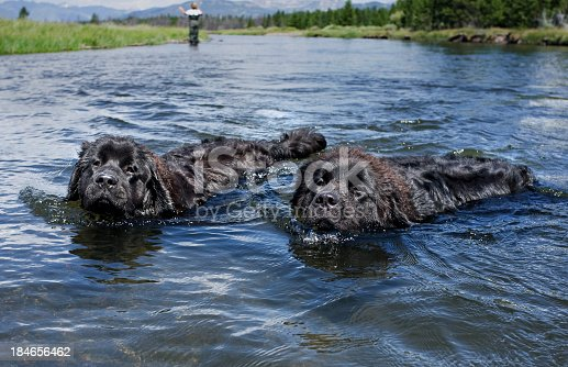 Two Newfoundland dogs enjoying a swim in the river