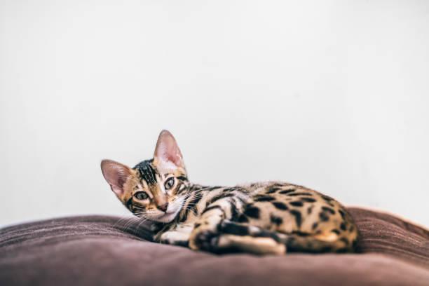 Newly awake bengal kitten on a soft brown pillow picture id911291636?b=1&k=6&m=911291636&s=612x612&w=0&h=s2uv8sp0nuw sjsrzmooglq5quuc67mtus2fvur4awq=