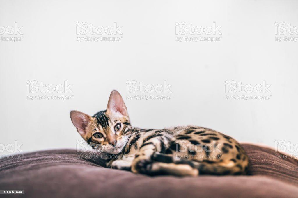 A newly awake bengal kitten on a soft brown pillow stock photo