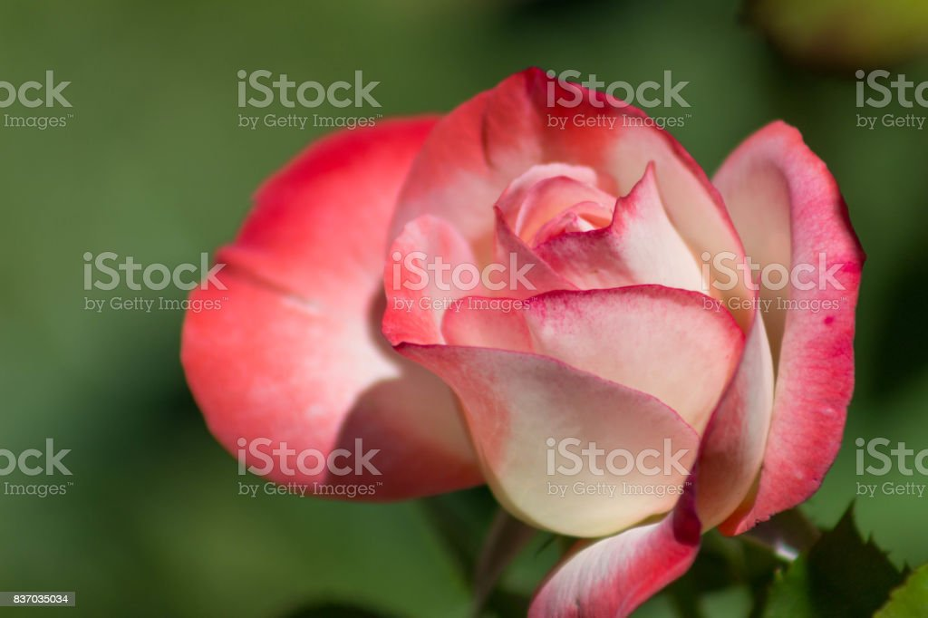 Newly Blooming Rosebud stock photo