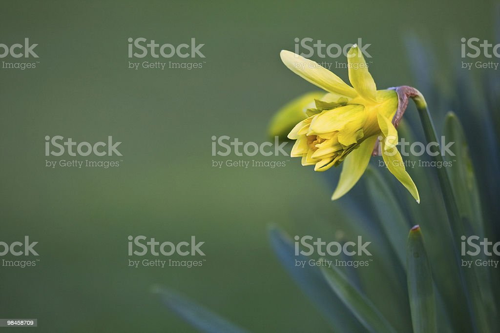 Newly blossomed daffodil in spring royalty-free stock photo
