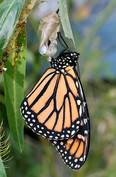 Newly emerged monarch butterfly
