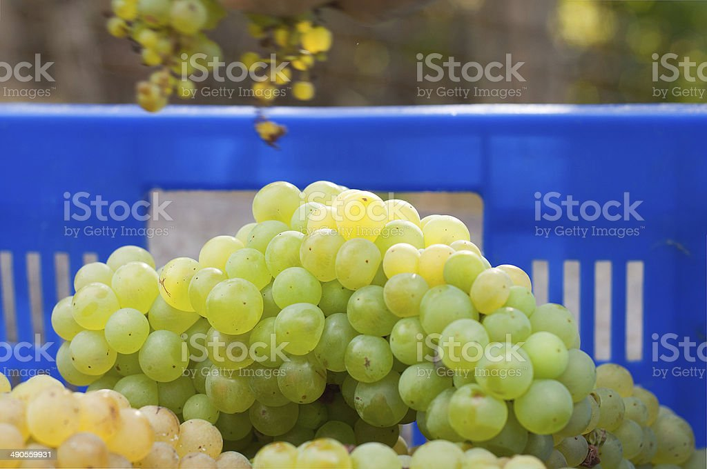 Newly harvested grapes boxes, in the vineyards stock photo