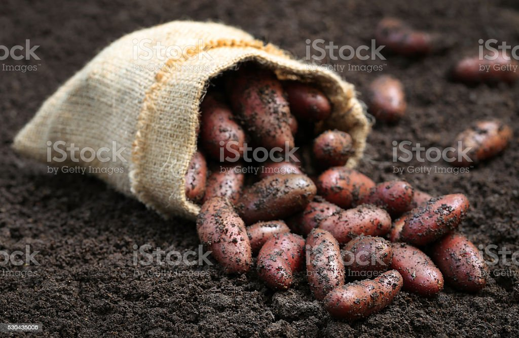 Newly harvested potatoes stock photo