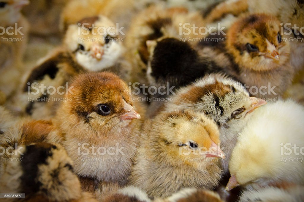 newly hatched baby chicks royalty-free stock photo