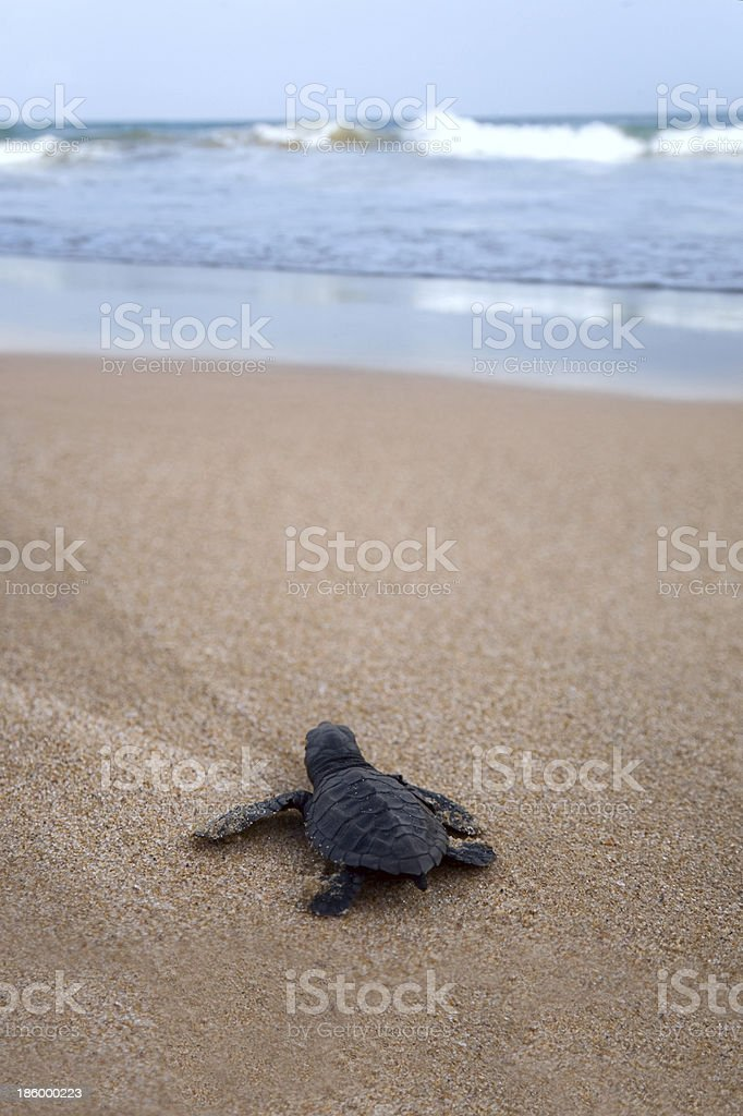 Newly hatched baby Loggerhead  turtle toward the ocean stock photo
