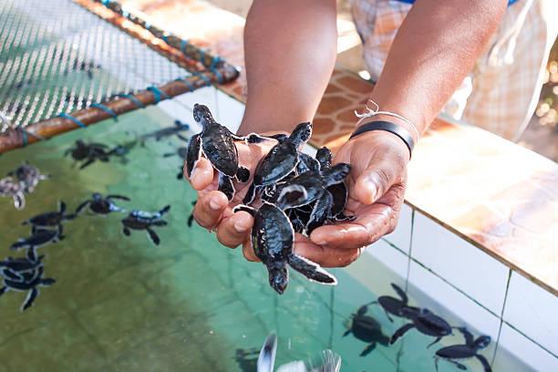 neu ausgebrütet baby schildkröten in menschen hände im meer schildkröten - rettungsinsel stock-fotos und bilder