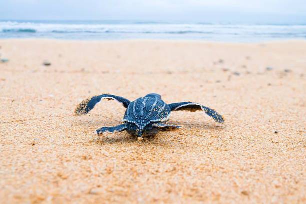 newly hatched baby turtles  a hurry in the watery element. - leatherback stockfoto's en -beelden