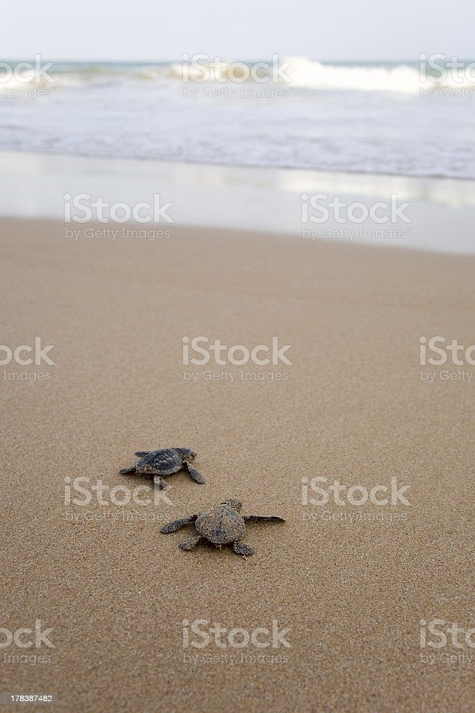 Newly hatched baby turtles stock photo