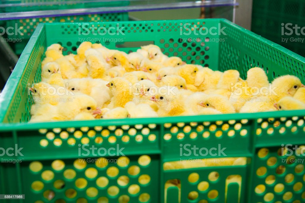 Newly hatched chicks stock photo