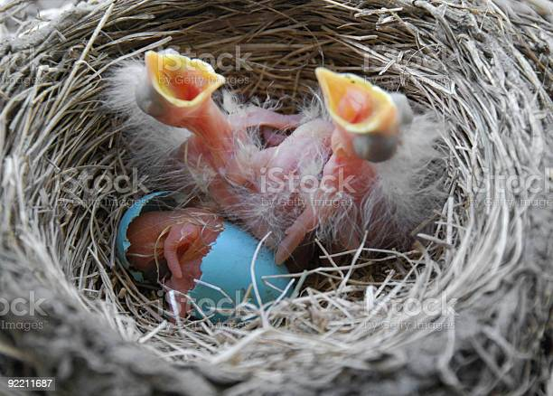 Newly hatched robin chicks picture id92211687?b=1&k=6&m=92211687&s=612x612&h=a  tf2pnderw5djubgmxe sj0p wbuukf1kromcpcvk=