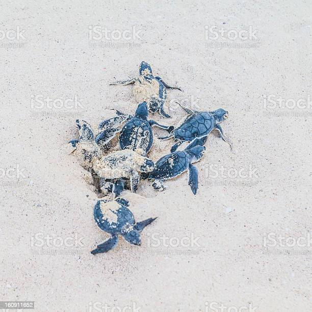 Newly hatched sea turtles sprout from the sand picture id160911652?b=1&k=6&m=160911652&s=612x612&h=oigexadhh4nsduarwhb9aa pmcfizbtvo7 afiy sqm=
