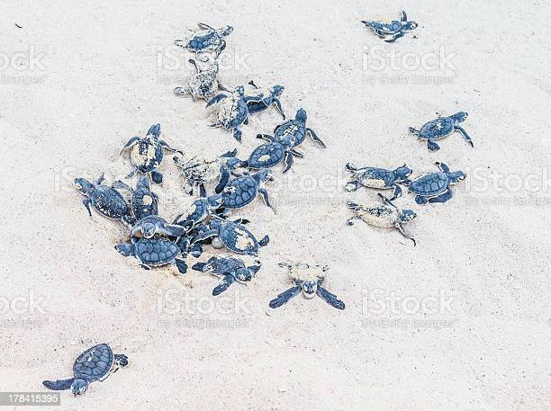 Newly hatched sea turtles sprout from the sand picture id178415395?b=1&k=6&m=178415395&s=612x612&h=yuuvonov0nzvssimrsqjkamcepdvmblj 5ade01l4x8=