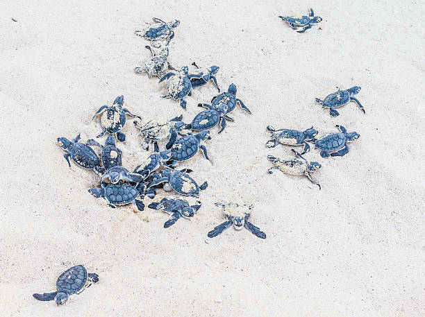 Newly hatched sea turtles sprout from the sand. stock photo