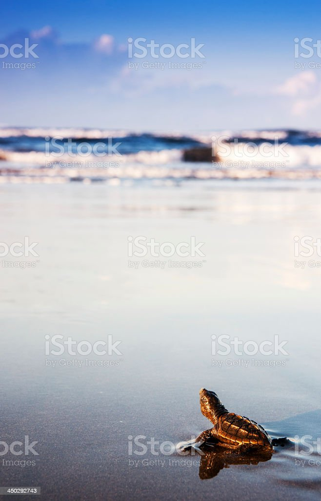 Newly hatched turtle entering the surf in Costa Rica stock photo