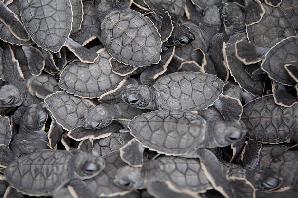 Newly hatched turtles. stock photo