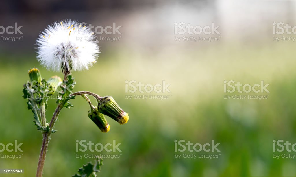newly opened dandelion in the spring and green background stock photo