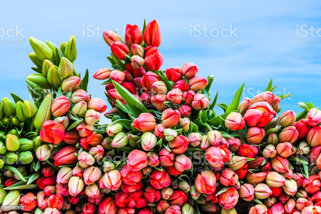 Newly picked fresh tulips to be sold. Bunches stacked together with blue sky behind. Springtime in Holland. royalty-free stock photo