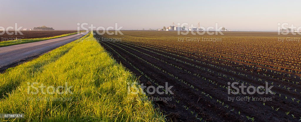Newly planted corn emerges from ground in early morning light stock photo