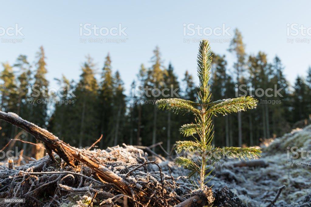 Newly planted spruce seedling stock photo