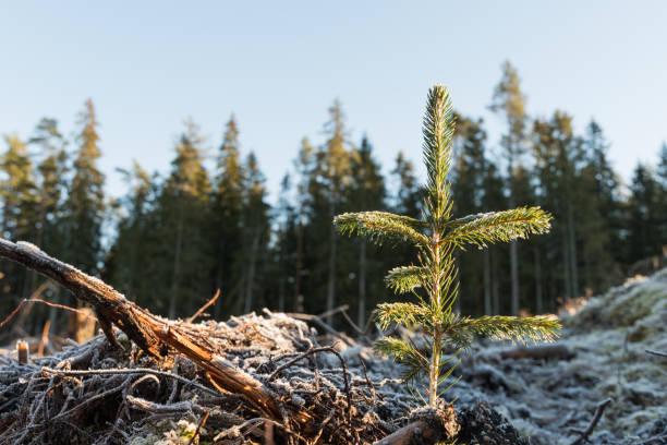 nieuw beplante vuren zaailing - herbebossing stockfoto's en -beelden