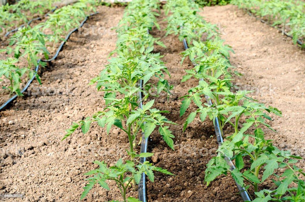 Newly planted tomato shoots in greenhouse zbiór zdjęć royalty-free