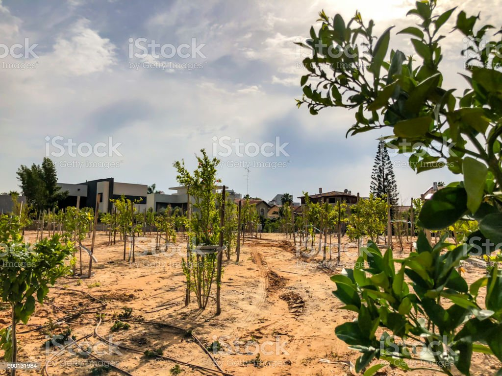 Newly planted trees on a farm are watered with a irrigation system seeking efficiency in a time of drought in Israel stock photo