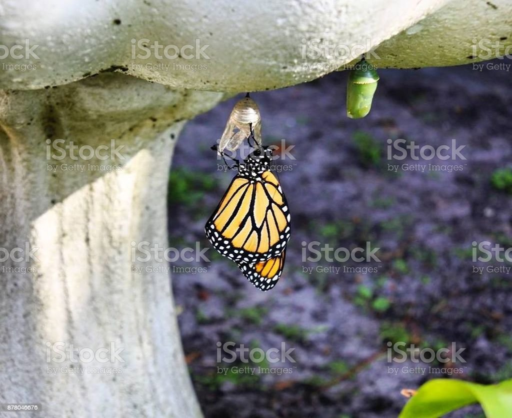 Newly-Hatched Monarch Butterfly stock photo