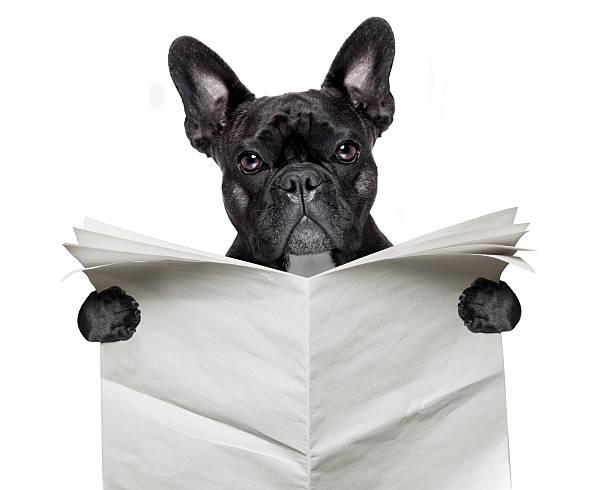zeitung bulldogge - coole liebessprüche stock-fotos und bilder