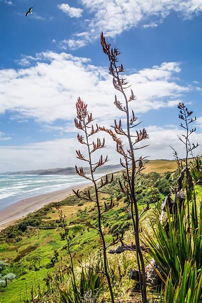 Ngarunui beach top view with New Zealand native flax stock photo