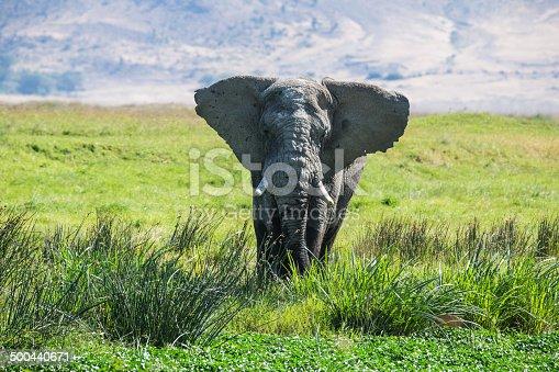 Inside Ngorongoro Crater Tanzania, with a big elephant grazing