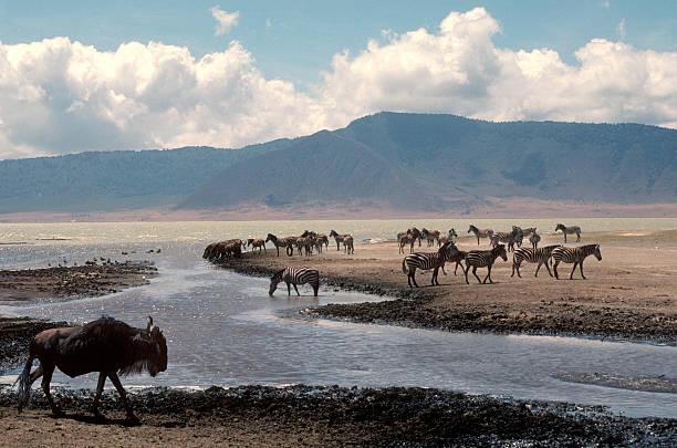 Ngorongoro Crater View with zebras and wildebeest stock photo