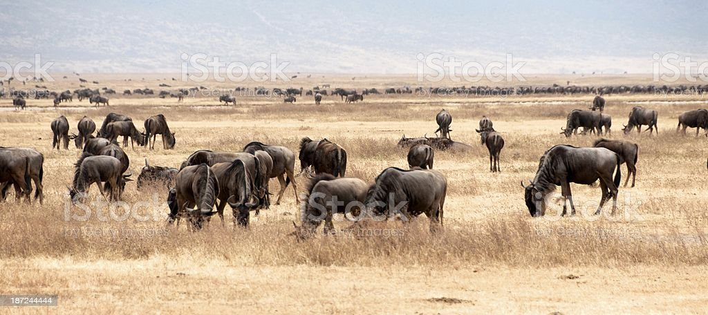 Ngorongoro Wildlife royalty-free stock photo
