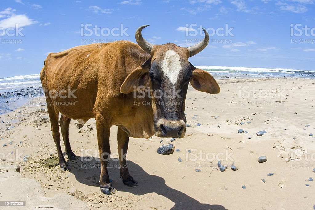 Nguni bull on Beach in South Africa stock photo