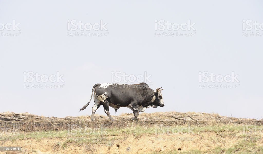Nguni Bull royalty-free stock photo
