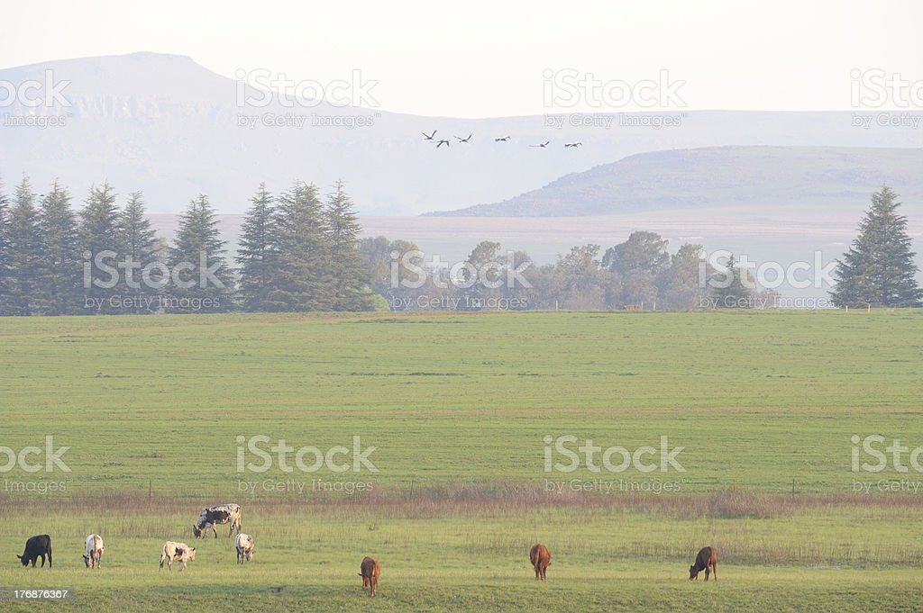 nguni cattle and crowned cranes royalty-free stock photo