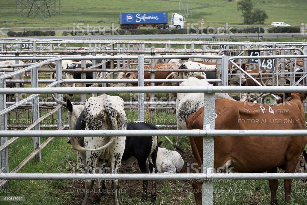 Nguni Cattle Auction stock photo
