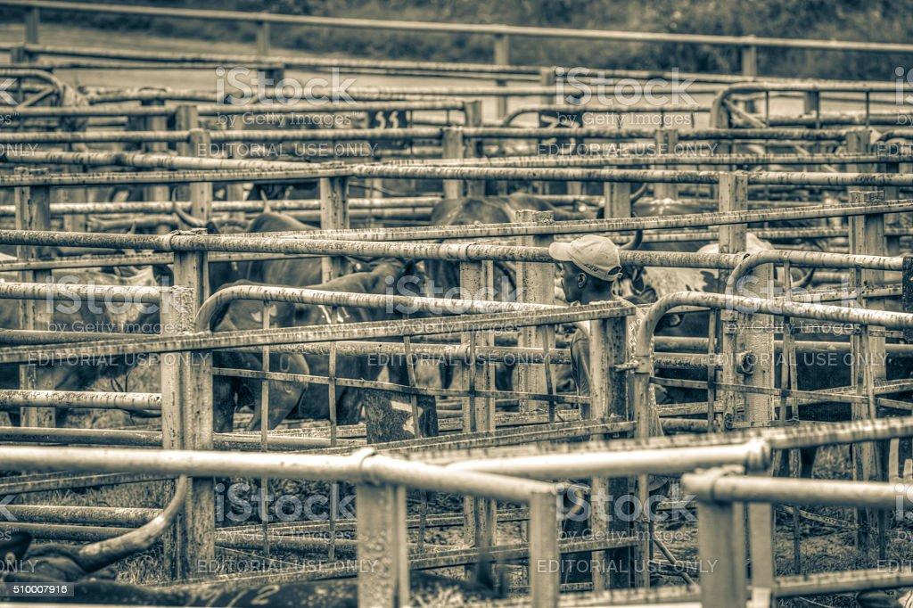 Nguni Cattle stock photo