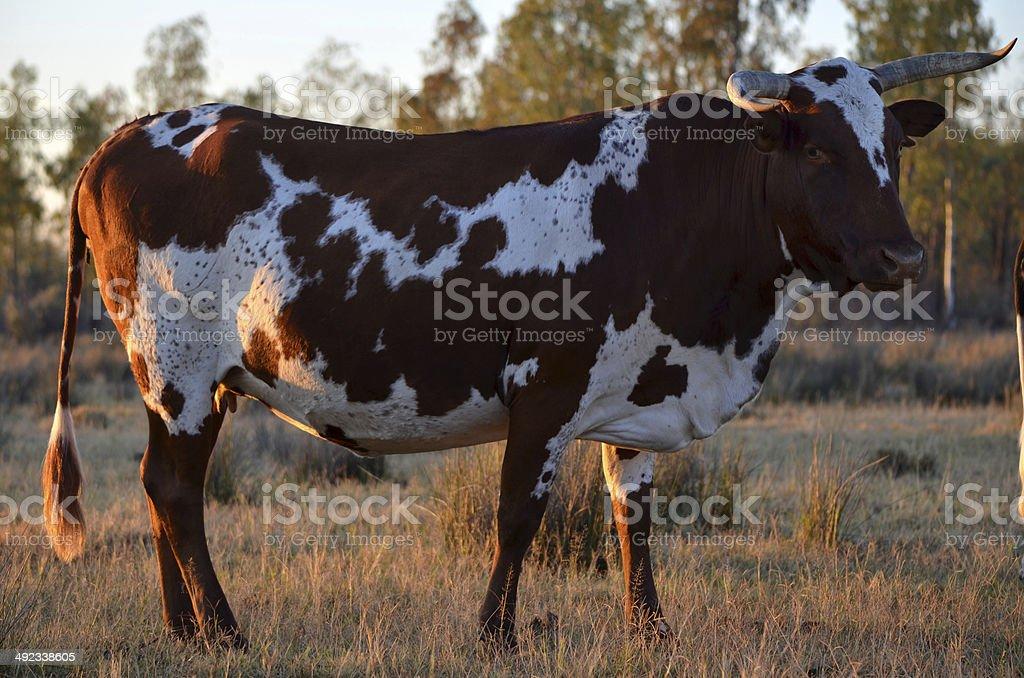 Nguni cow at sunrise stock photo