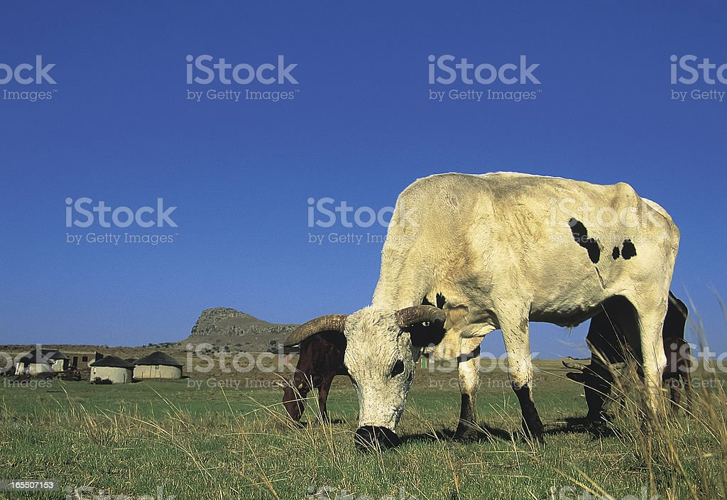 Nguni cow grazing in field South Africa stock photo