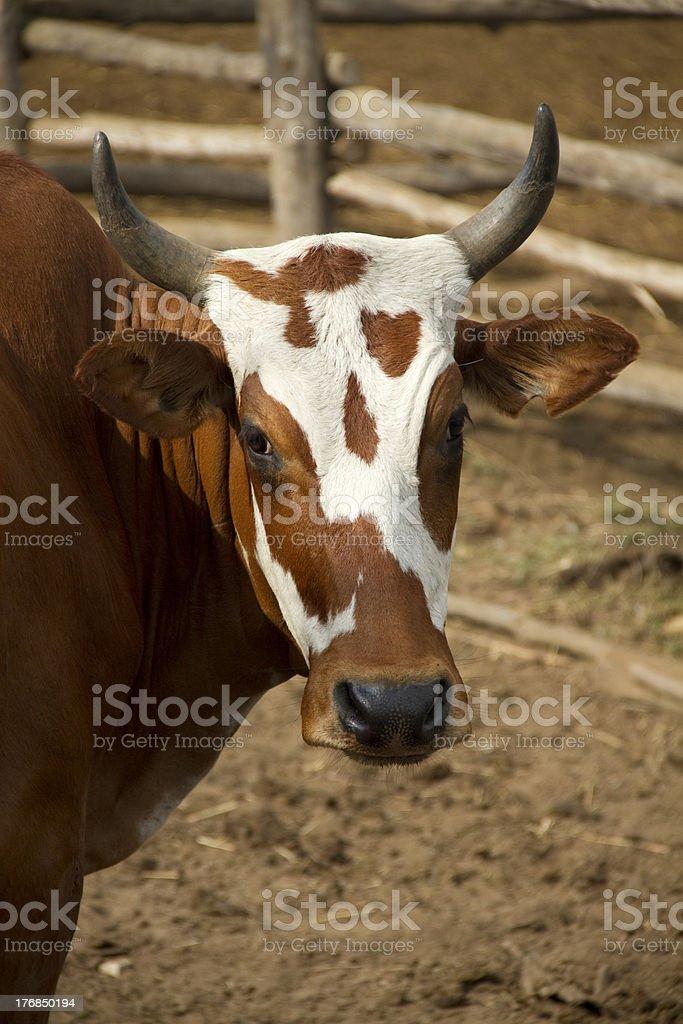 Nguni Cow stock photo