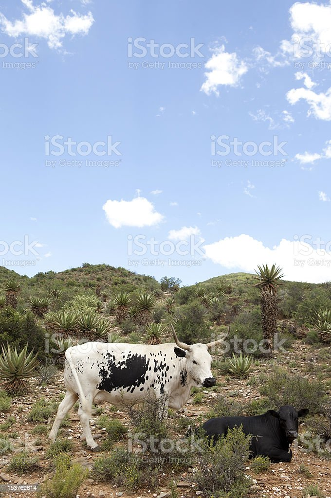 Nguni cow with her calf stock photo